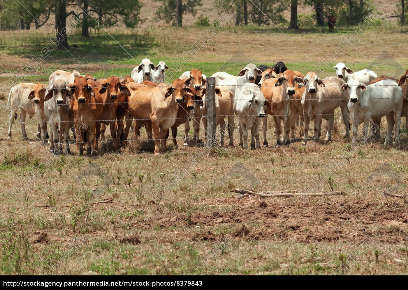 brahman kuh-herde auf der ranch mit vordergrundcopy - Stockfoto ... | {Herde 88}