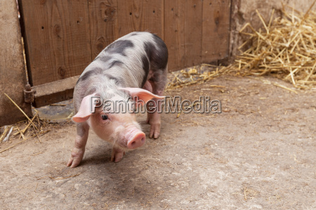 young piglet
