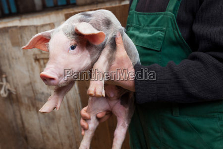young piglet on hands