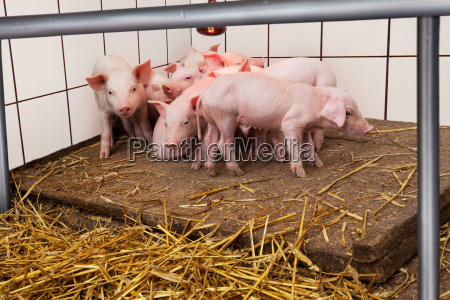 young piglets