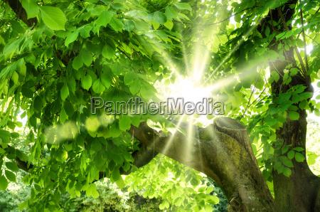 sonne leuchtet durch frisches laub