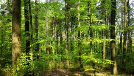 fruehlingssonne scheint in den laubwald