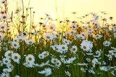 margeritenfeld in der abendsonne