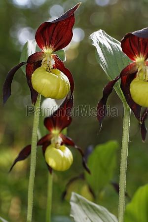 frauenschuh cypripedium calceolus
