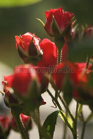 rosen im gegenlicht