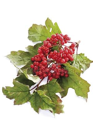 stilleben blatt baumblatt blaetter fruechte frucht