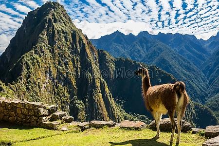 lama machu picchu peruanischen anden cuzco