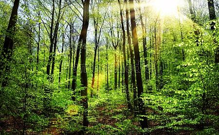 fruehlingssonne im buchenwald