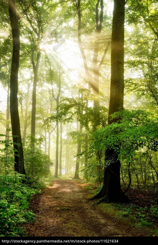 morgensonne, leuchtet, in, den, nebeligen, wald - 11021634