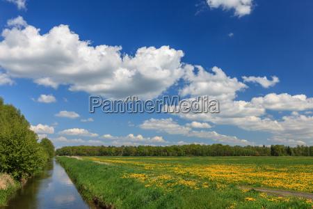 wiese mit bluehendem loewenzahn blauer himmel