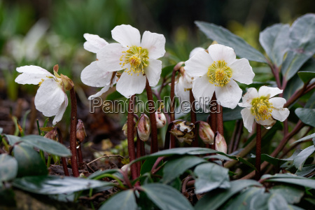 christrose helleborus niger nieswurz schneerose