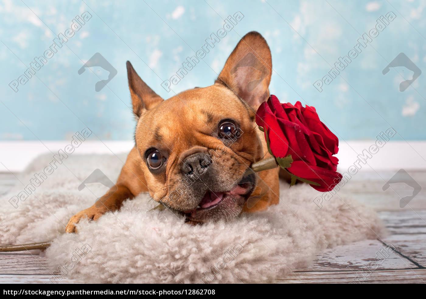 franz sische bulldogge mit rose lizenzfreies foto 12862708 bildagentur panthermedia. Black Bedroom Furniture Sets. Home Design Ideas