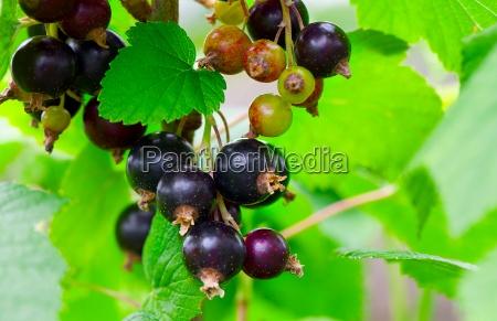 blackcurrant in the garden