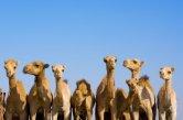 dromedare in einer reihe emirate