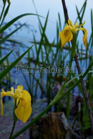 bluetenportraet sumpfschwertlilie