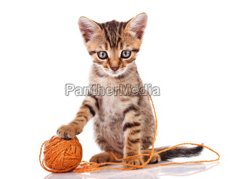 tabby kitten with brown ball
