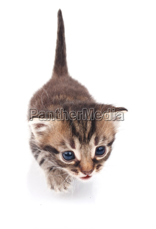 funny tabby kitten on a white