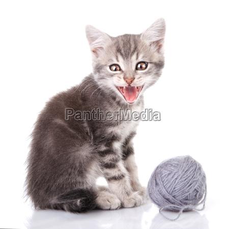 cute tabby kitten meowing