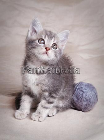 beautiful gray kitten