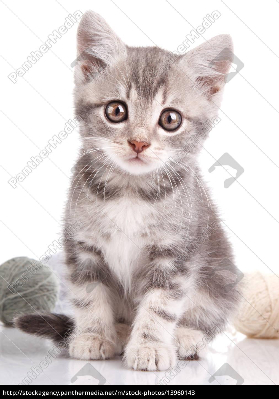 nettes, graues, kätzchen - 13960143