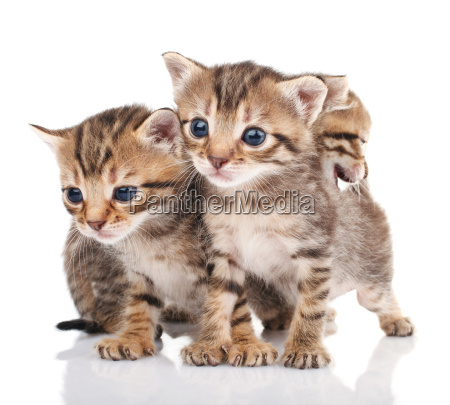 three kitten isolated