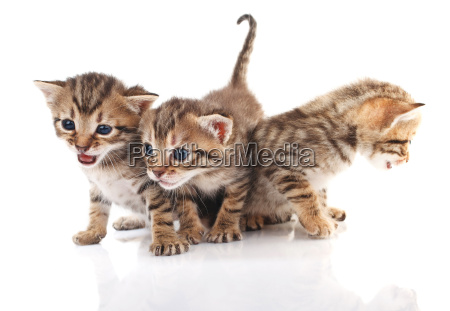 beautiful tabby kittens