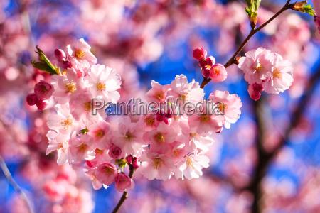 sakura rosa blume blueht