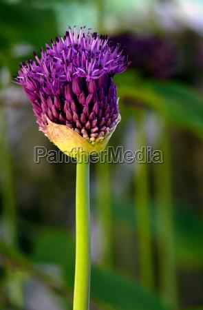 schmucklilien 3