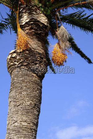 fruchtstaende der dattelpalme