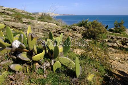 strandvegetation am atlantik algarve portugal