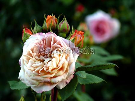 rosen 6