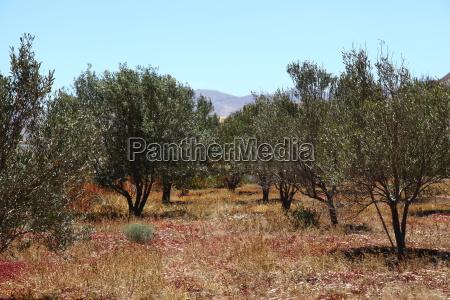 olive oliven olivenbaum pflanze gewaechs pflanzen