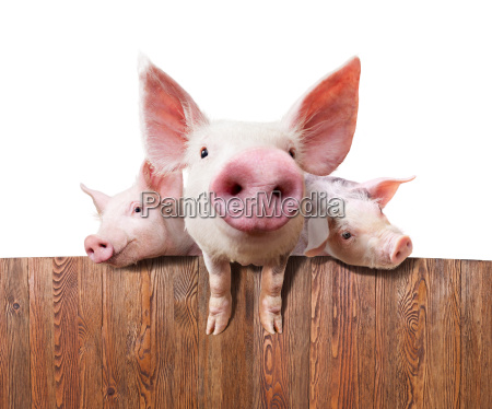 schweinefarm - 14432899