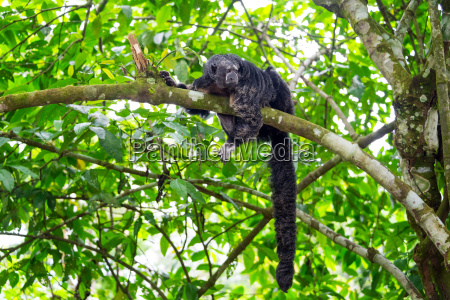 monk saki monkey and tail