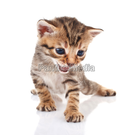striped kitten crying