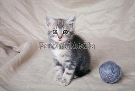 gray kitten with ball
