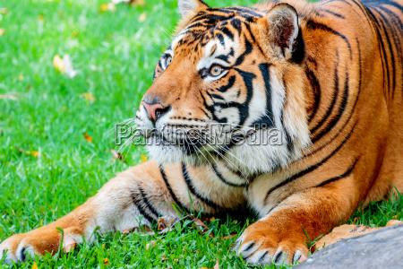 katze raubkatze grosskatze tiger sumatran