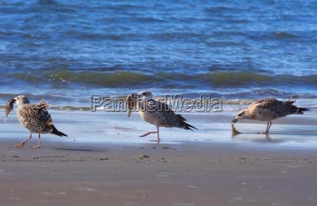 gruppe moewen am strand mit fisch