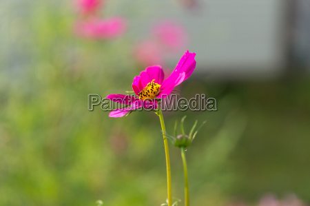 pink cosmos blooming