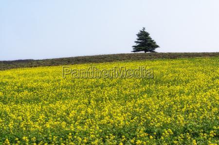 field of canola flowers