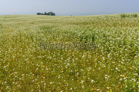 field of buck wheat