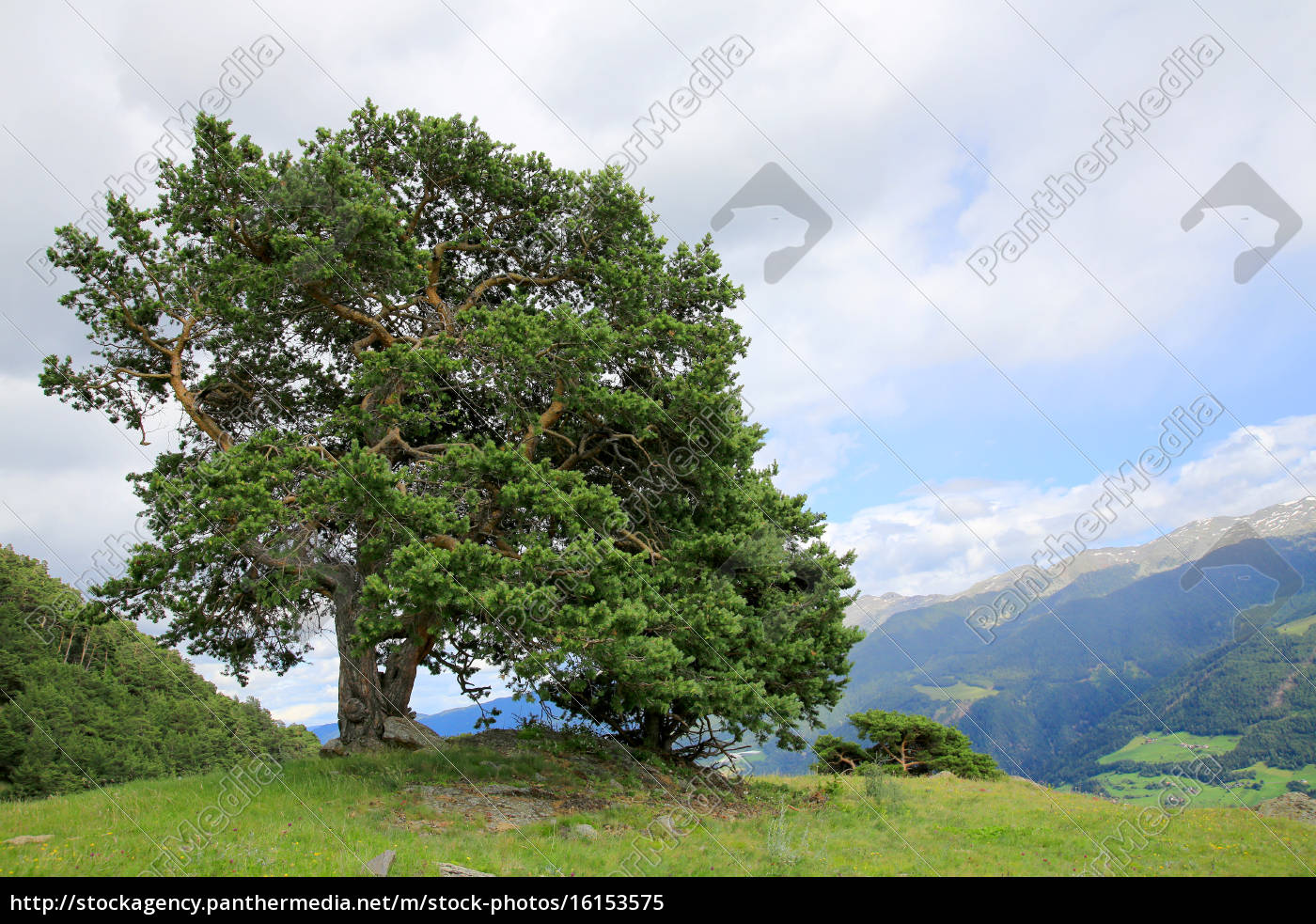 kiefer baum auf einem h gel in den alpen pinaceae stockfoto 16153575 bildagentur. Black Bedroom Furniture Sets. Home Design Ideas