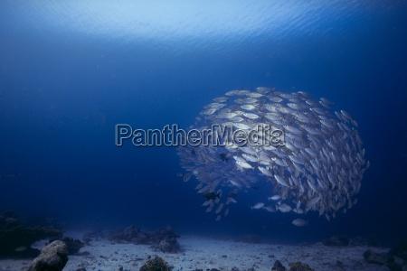 oceania palau oxeye scads selar boops