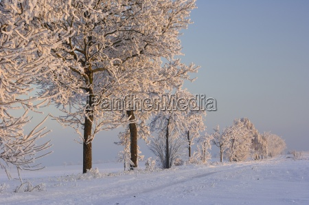 row of trees with hoar frost