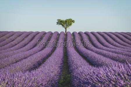 france alpes de haute provence lavender