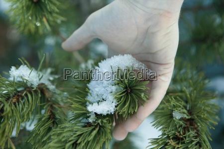 hand beruehren schnee auf tannenzweig