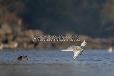 germany schleswig holstein seagull laridae flying
