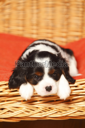 portrait of cavalier king charles spaniel