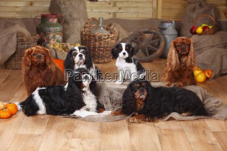six cavalier king charles spaniels sitting