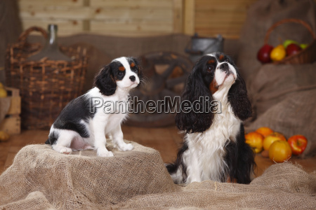 two cavalier king charles spaniels sitting